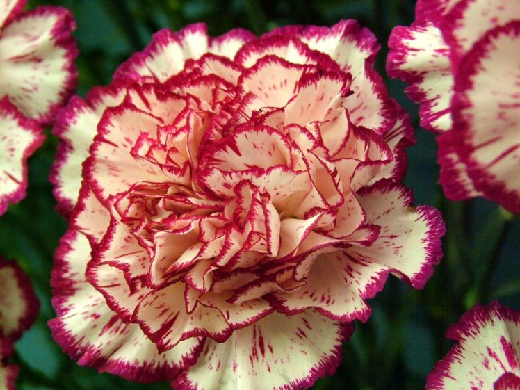 Carnations_Peppermint_1